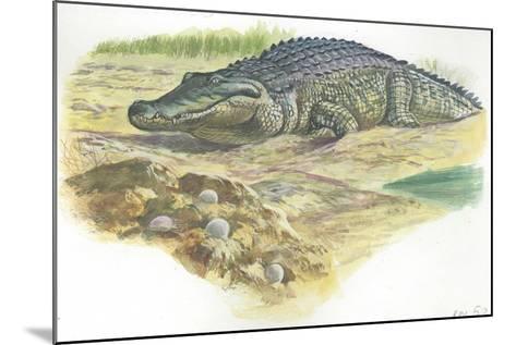 Nile Crocodile Crocodylus Niloticus Near its Laid Eggs--Mounted Giclee Print