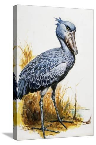 Shoebill or Whalehead (Balaeniceps Rex), Balaenicipitidae--Stretched Canvas Print