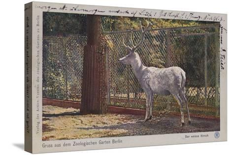 White Deer in the Zoo in Berlin--Stretched Canvas Print