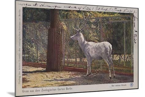 White Deer in the Zoo in Berlin--Mounted Giclee Print