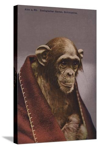 Chimpanzee in Cologne Zoo--Stretched Canvas Print
