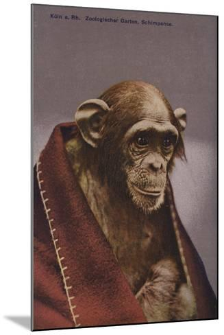 Chimpanzee in Cologne Zoo--Mounted Giclee Print