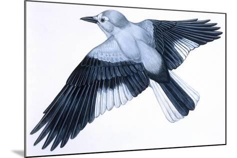 Birds: Passeriformes, Clark's Nutcracker (Nucifraga Columbiana)--Mounted Giclee Print