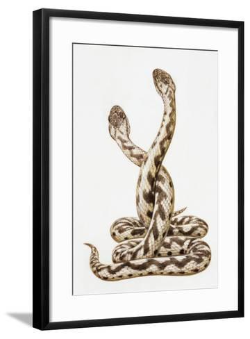 Common European Viper (Vipera Berus), Viperidae, Drawing--Framed Art Print