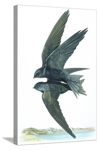 Birds: Apodiformes, Common Swifts (Apus Apus) Mating--Stretched Canvas Print