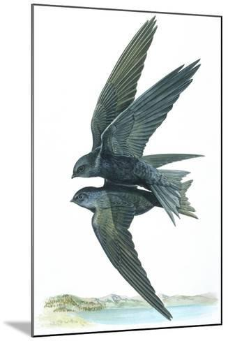 Birds: Apodiformes, Common Swifts (Apus Apus) Mating--Mounted Giclee Print