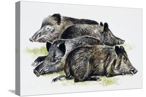 Sleeping Wild Boars or Wild Pigs (Sus Scrofa), Suidae, Drawing--Stretched Canvas Print