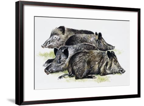 Sleeping Wild Boars or Wild Pigs (Sus Scrofa), Suidae, Drawing--Framed Art Print