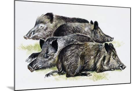 Sleeping Wild Boars or Wild Pigs (Sus Scrofa), Suidae, Drawing--Mounted Giclee Print