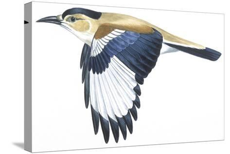 Birds: Passeriformes, Turkestan Ground-Jay (Podoces Panderi)--Stretched Canvas Print
