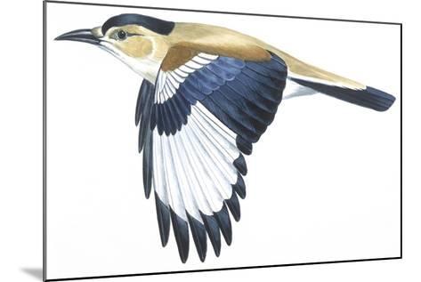 Birds: Passeriformes, Turkestan Ground-Jay (Podoces Panderi)--Mounted Giclee Print