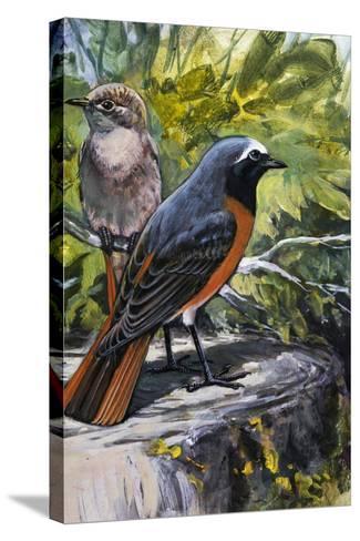 Common Redstart (Phoenicurus Phoenicurus), Turdidae--Stretched Canvas Print