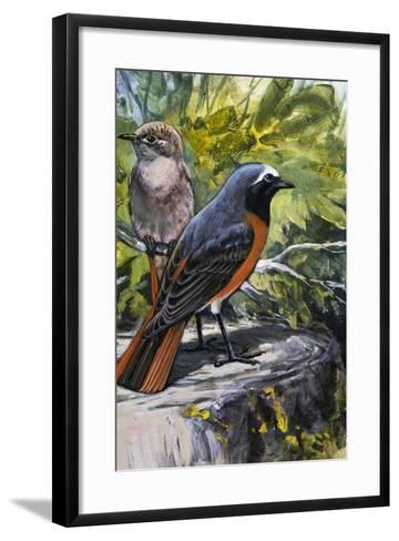 Common Redstart (Phoenicurus Phoenicurus), Turdidae--Framed Art Print