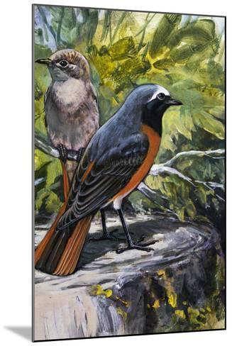 Common Redstart (Phoenicurus Phoenicurus), Turdidae--Mounted Giclee Print