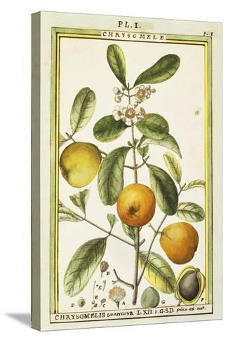Chrysomele (Chrysomelis Senticosa), 1789--Stretched Canvas Print
