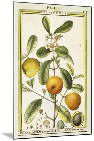 Chrysomele (Chrysomelis Senticosa), 1789--Mounted Giclee Print