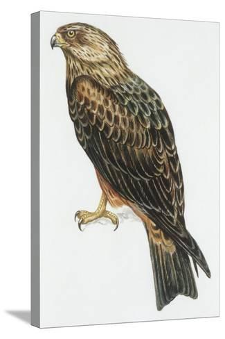 Zoology: Birds, Black Kite (Milvus Migrans) Flying--Stretched Canvas Print