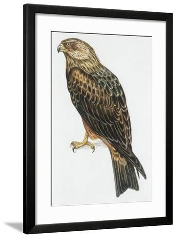 Zoology: Birds, Black Kite (Milvus Migrans) Flying--Framed Art Print
