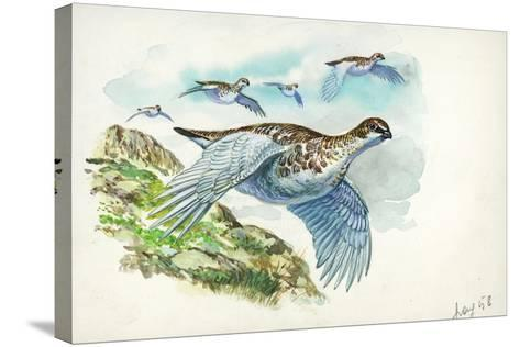 Flock of Rock Ptarmigans Lagopus Muta in Flight--Stretched Canvas Print