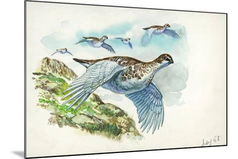 Flock of Rock Ptarmigans Lagopus Muta in Flight--Mounted Giclee Print