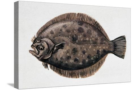 Close-Up of a Brill (Scophthalmus Rhombus)--Stretched Canvas Print