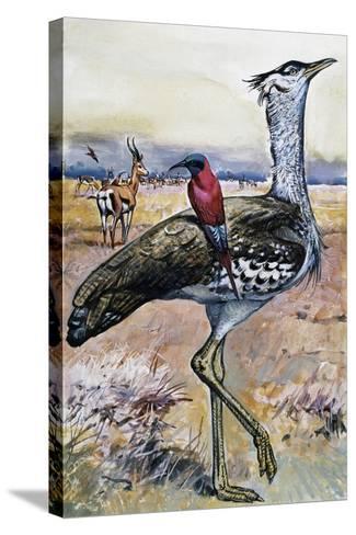 Kori Bustard (Ardeotis Kori), Otididae--Stretched Canvas Print