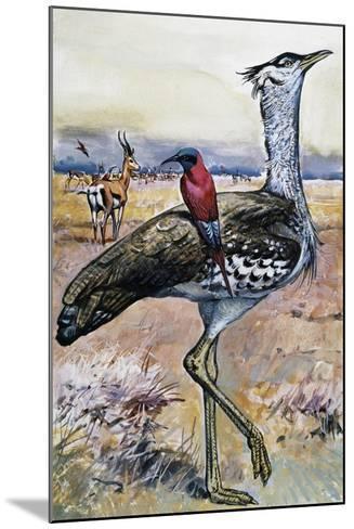 Kori Bustard (Ardeotis Kori), Otididae--Mounted Giclee Print