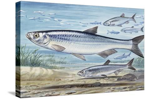 Bleak (Alburnus Alburnus), Cyprinidae, Drawing--Stretched Canvas Print