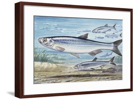 Bleak (Alburnus Alburnus), Cyprinidae, Drawing--Framed Art Print