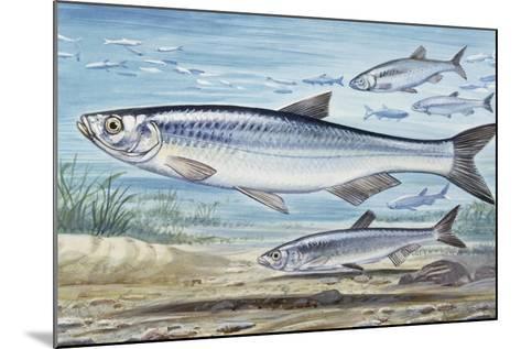Bleak (Alburnus Alburnus), Cyprinidae, Drawing--Mounted Giclee Print