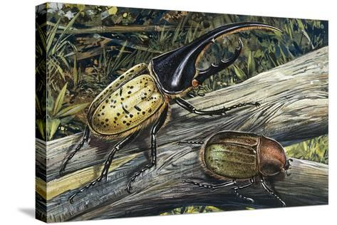 Hercules Beetle (Dynastes Hercules), Scarabaeidae--Stretched Canvas Print