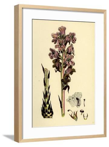 Orobanche Caryophyllacea; Clove-Scented Broomrape--Framed Art Print