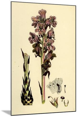 Orobanche Caryophyllacea; Clove-Scented Broomrape--Mounted Giclee Print