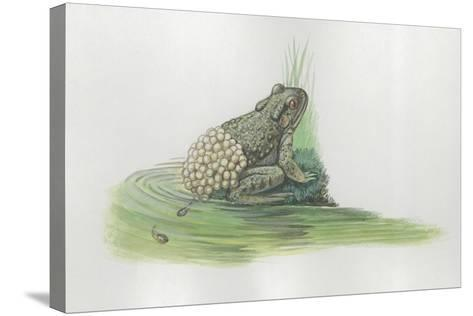 Close-Up of a Midwife Toad Deposits Eggs in Water--Stretched Canvas Print