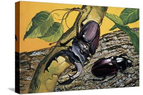 Close-Up of Two Stag Beetles (Lucanus Cervus)--Stretched Canvas Print