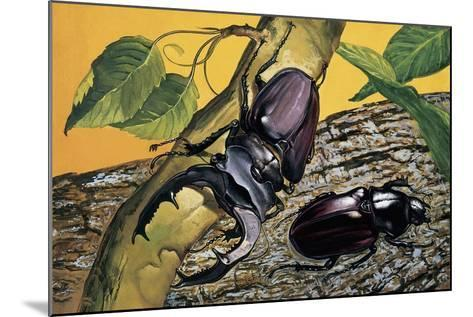 Close-Up of Two Stag Beetles (Lucanus Cervus)--Mounted Giclee Print