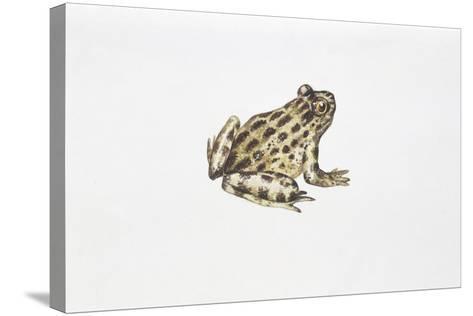Tyrrhenian Painted Frog (Discoglossus Sardus)--Stretched Canvas Print