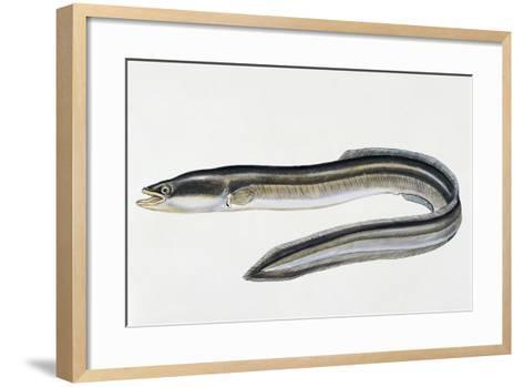 Close-Up of a Common Eel (Anguilla Vulgaris)--Framed Art Print