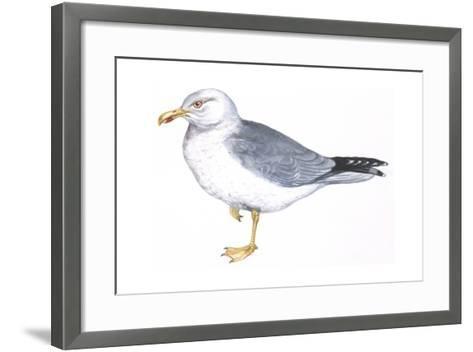 Zoology: Birds, Herring Gull, (Larus Argentatus)--Framed Art Print