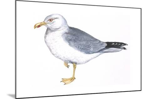 Zoology: Birds, Herring Gull, (Larus Argentatus)--Mounted Giclee Print