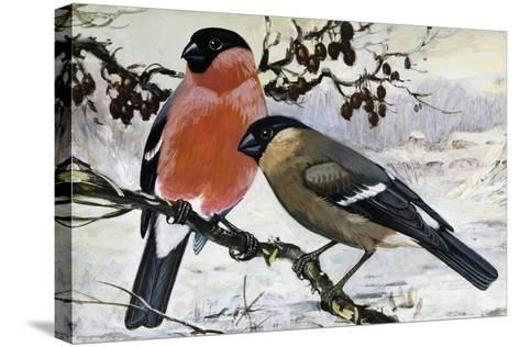 Bullfinch Pair (Pyrrhula Pyrrhula), Fringillidae--Stretched Canvas Print