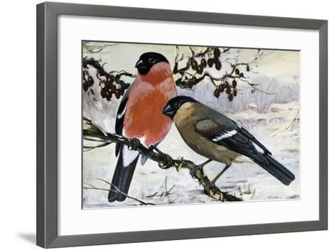 Bullfinch Pair (Pyrrhula Pyrrhula), Fringillidae--Framed Art Print