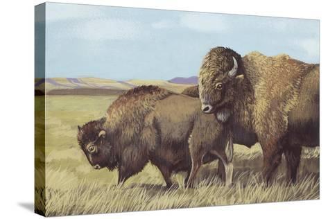 American Bison (Bison Bison)--Stretched Canvas Print