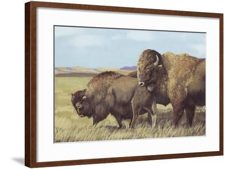 American Bison (Bison Bison)--Framed Art Print