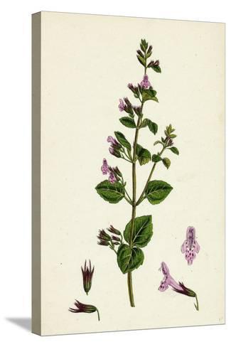 Calamintha Menthifolia Var. Briggsii Common Calamint Var. B--Stretched Canvas Print