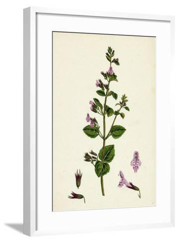 Calamintha Menthifolia Var. Briggsii Common Calamint Var. B--Framed Art Print