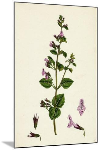 Calamintha Menthifolia Var. Briggsii Common Calamint Var. B--Mounted Giclee Print