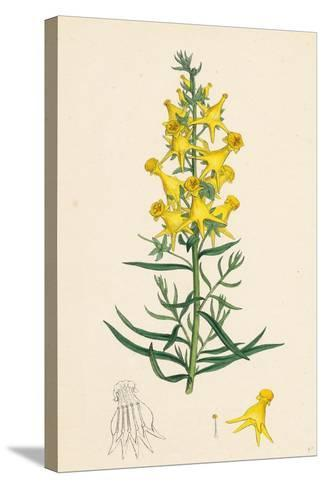 Linaria Vulgaris Peloria Yellow Toadflax Monstrous State--Stretched Canvas Print