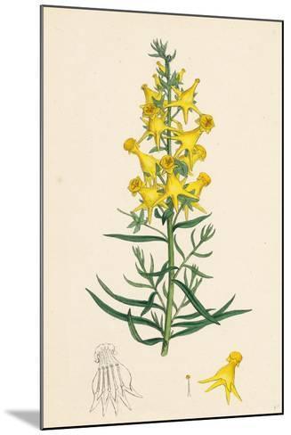 Linaria Vulgaris Peloria Yellow Toadflax Monstrous State--Mounted Giclee Print