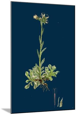 Verbascum Nigro-Lychnitis; Hybrid Between Dark and White Mulleins--Mounted Giclee Print